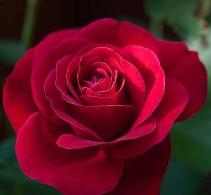 Flores rosas rojas para el Tanatorio Pamplona